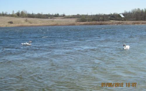 Лебеди на Городищенском озере. Изборск