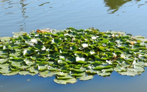 Лотосы в монастырском пруду